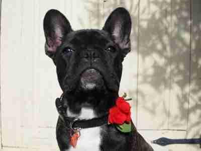 Scrufts Margaux Velvet and Floral Dog Collar