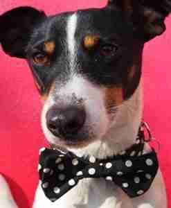 Mr Phillips Bow Tie Collar