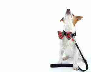 Scrufts : Handmade Dog Collars and Leads