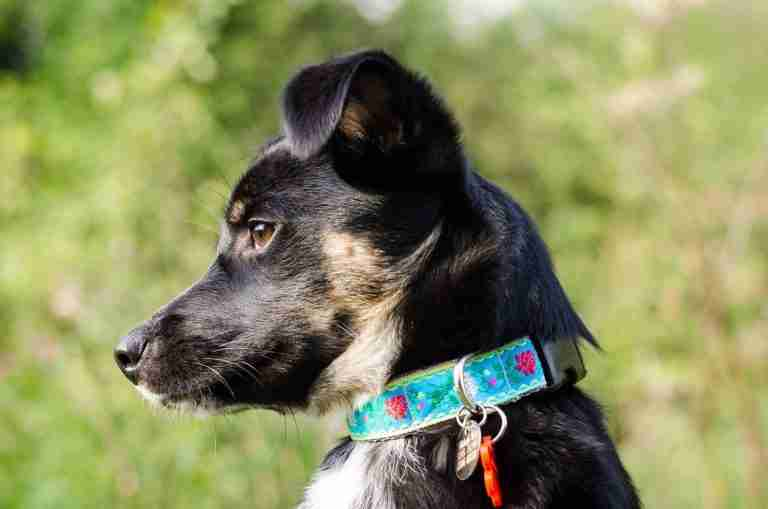 Scrufts' Edelweiss Floral Dog Collar