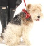 Scrufts' Mrs Phillips Bow Wow Wow Tie Dog Collar