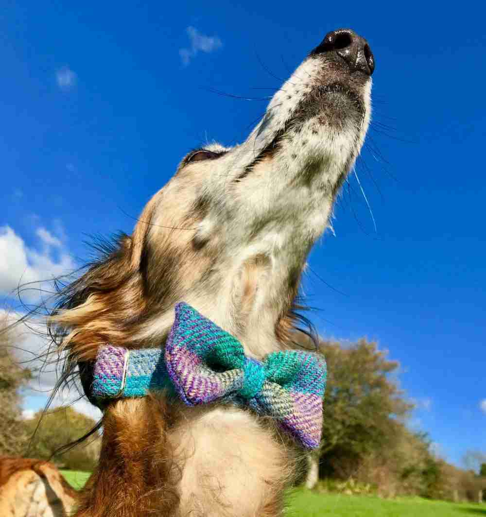 Harris Tweed Dog Bow Tie Collar in Beautiful Blue
