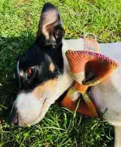 Harris Tweed Handmade Bow Tie Dog Collar in Ginger