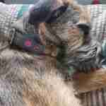 Scrufts' Oska Velvet Lined Dog Collar