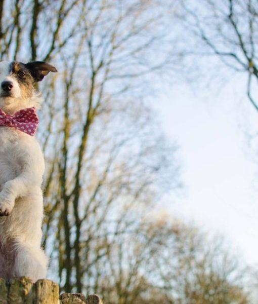 Scrufts' Pretty in Pink Bow Wow Wow Tie Dog Collar
