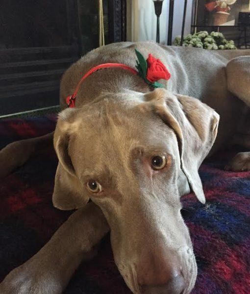 Scrufts' Rosie Posie Red Velvet Dog Collar