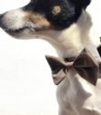 Scrufts' Barnaby Black Velvet Bow Wow Wow Tie Dog Collar
