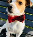 Harris Tweed Handmade Dog Bow Tie Dog Collar in Red Berry