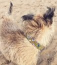 Scrufts' Rye Corduroy Velvet Lined Dog Collar