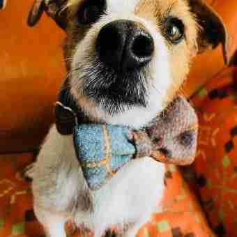 Harris Tweed Handmade Bow Tie Dog Collar in Spitfire Check