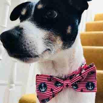 Captain Noodles Nautical Bow Tie Dog Collar