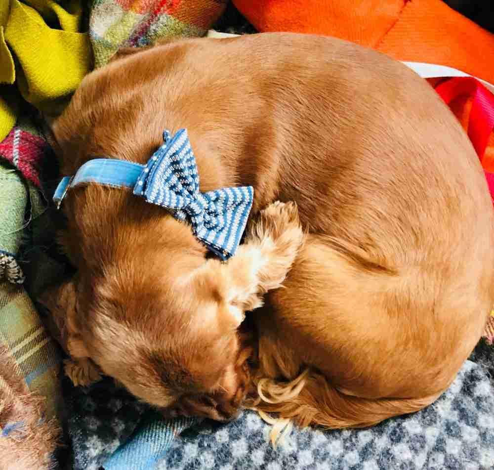 Scrufts' Bertie Blue Velvet Dog Bow Tie