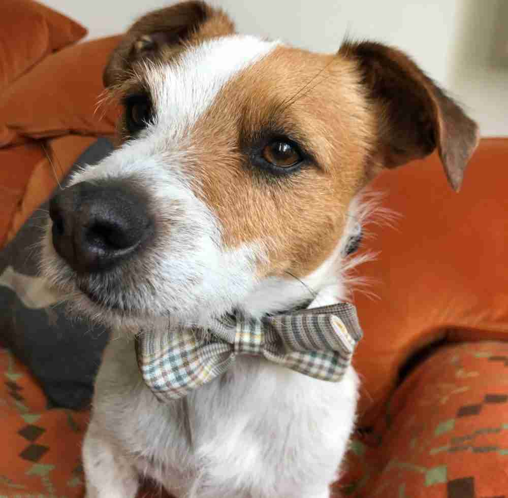 Scrufts' Mini Astaire Dog Bow Tie
