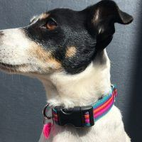 Scrufts Brighton Stripe Dog Collar