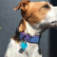 Scrufts Heather Blue Velvet Lined Harris Tweed Dog Collar