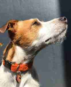 Scrufts' Marmaduke Zingy Orange Velvet Lined Harris Tweed Dog Collar