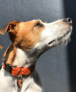 Scrufts' Marmaduke Zingy Orange Velvet Lined Harris Tweed Dog Collar