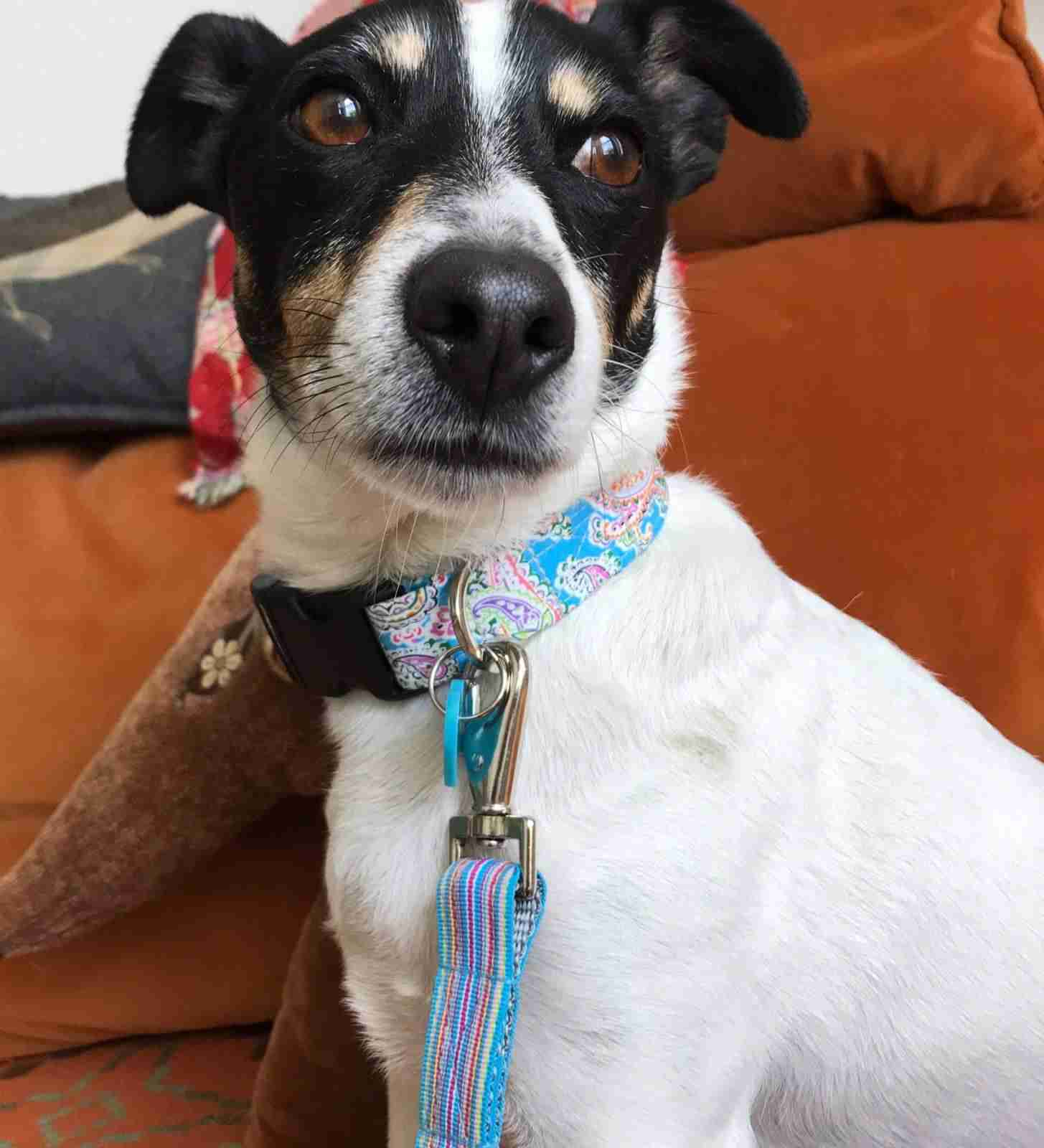 Scrufts Gypsy Dog Collar and Lead in Turquoise