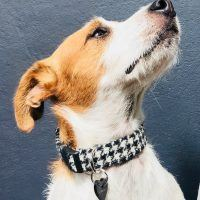 Scrufts Mono Harris Tweed Dogtooth Dog Collar with Velvet Lining