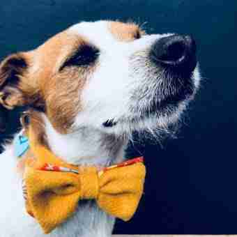 An image of a dog wearing a Twwed Dog Collar made by Scrufts