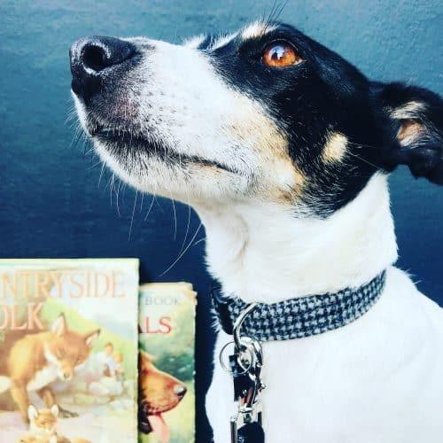 Scrufts Billy Boy Grey Tweed Dog Collar with Black Velvet Lead