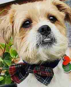 Scrufts' Dougal McHandsome Velvet Bow Tie Dog Collar